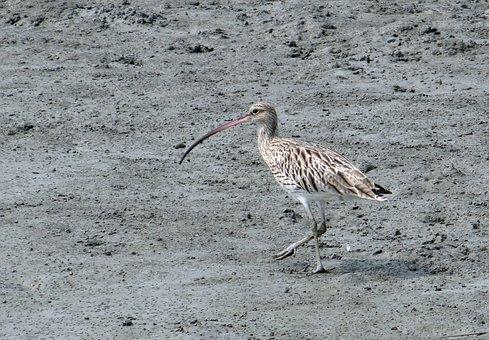 Eurasian Curlew, Numenius Arquata, Bird, Sundarbans