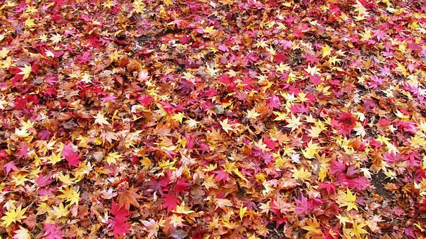 Fallen Leaves, Fall Of Japan, Maple Rugs, Autumn, Color