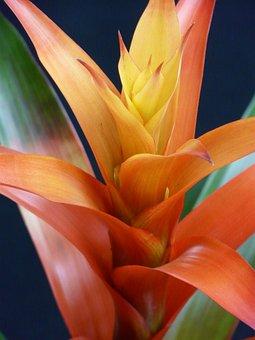 Guzmania, Flower, Blossom, Bloom, Bromeliaceae