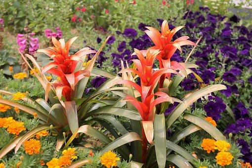 Scarlet Star, Flower, Plant, Garden, Guzmania Lingulata