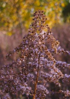 Autumn, Solidago Canadensis, Dry Plant, Fluff