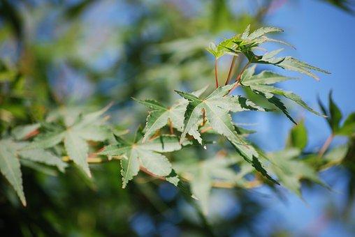 Maple, Garden, Leaves, Tree, Green, Japan