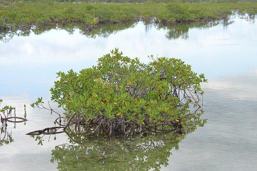 Mangrove, Green, Water, Plant, Tropical, Nature