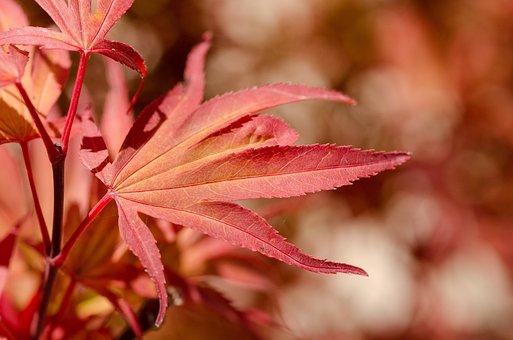 Maple, Red, Japan, Japanese, Tree, Leaf, Autumn, Fall