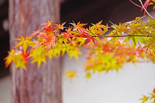 Fall, Autumn Foliage, Japanese Maple, Beautiful, Red