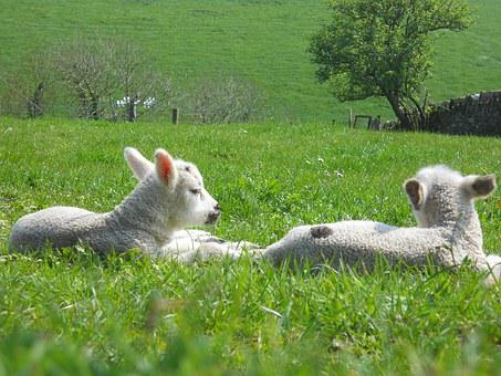 Lamb, Spring, Easter, Sheep, Pets, White, Innocent