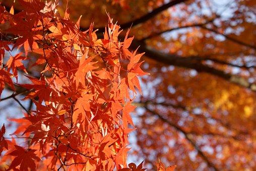 Maple, Japanese Maple, Momiji, Fall, Leaf, Nature