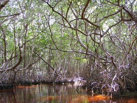 Mangrove, Celestun, Yucatan Mexico, Mexico, Trees