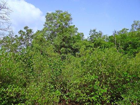 Mangroves, Terekhol River Estuary, Swamp, Goa, India