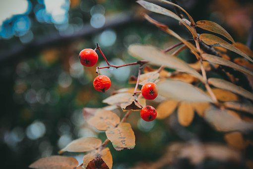 Autumn, Rowan, Tree, Plant, September, Nature, Bright