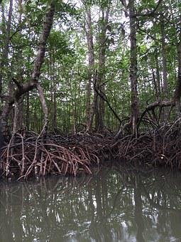 Mangrove, Philippines, Trees, Nature, Swamp, Outdoor