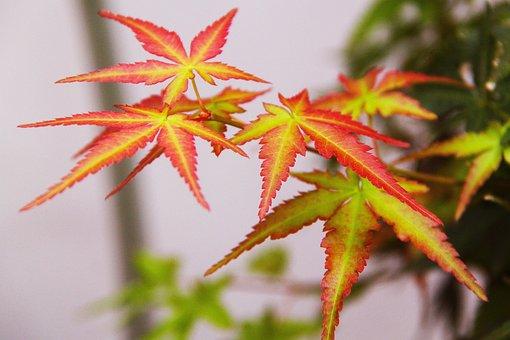 Autumn, Maple, Maple Leave, Fall, Foliage, Pink, Green