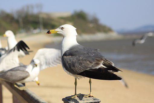 Seagull, Tidal, Ganghwado, Dongmak, Incheon Beach