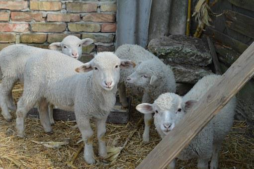 Lamb, Sheep, Is Watching, Spring, White, Innocent, Pets