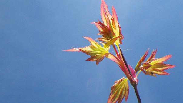 Sky, Spring, Leaf, Purple Maple, Japan, Nature