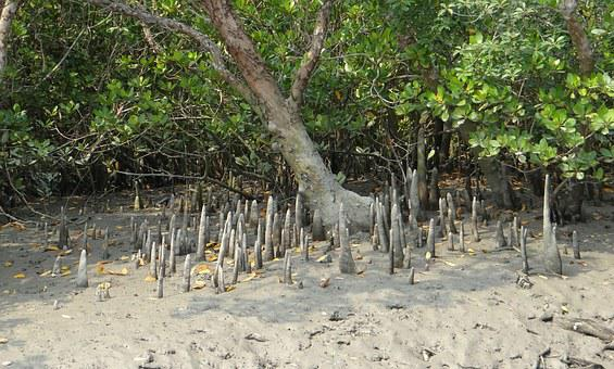 Cone Roots, Mangroves, Flora, Species, Forest, Roots