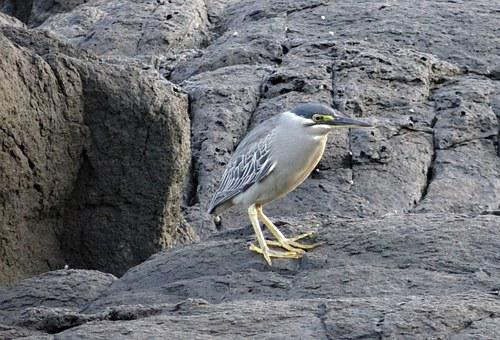 Little Heron, Bird, Wader, Striated Heron
