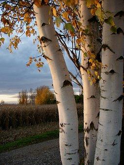 Birch, Birch Trunk, Log, Tree Bark, Bark, Wood