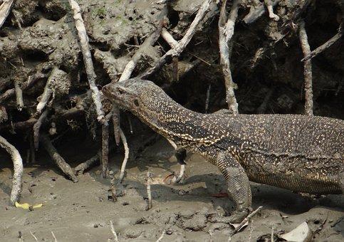 Water Monitor Lizard, Varanus Salvator, Reptile, Wild