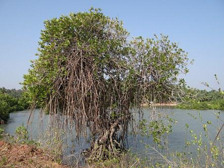 Mangroves, Vegetation, Estuary, Backwaters