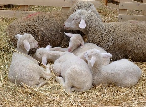 Easter, Lamb, Pets, Sheep, Bari, Four-legged, White
