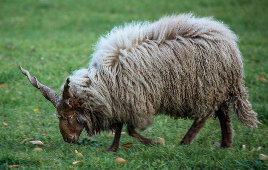Lamb, Sheep, Pets, Four-legged, White, Animal