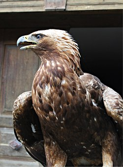 Golden Eagle, Adler, Raptor, Bird Of Prey, Bird