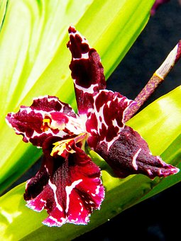 Orchid, Plant, Blossom, Bloom, Close, Wine Red