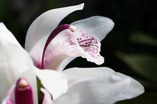Flower, Blossom, Bloom, Cymbidium, Orchid, Orchidaceae