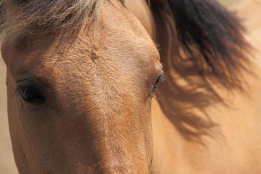 Animal, Beautiful, Big, Brown, Close-up, Domesticated