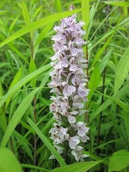 Dactylorhiza, Marsh Orchid, Spotted Orchid, Wildflower