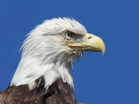 Eagle, Bird, Animal, Bird Of Prey, Bald Eagle, Eagles