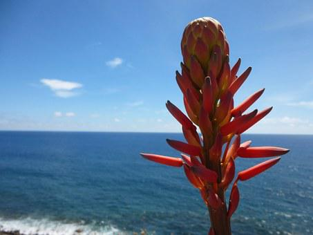 Tree Aloe, Flower, Blossom, Bloom, Red, View, Close