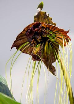 Tacca, Black Orchid, Orchid, Flower, Blossom, Bloom