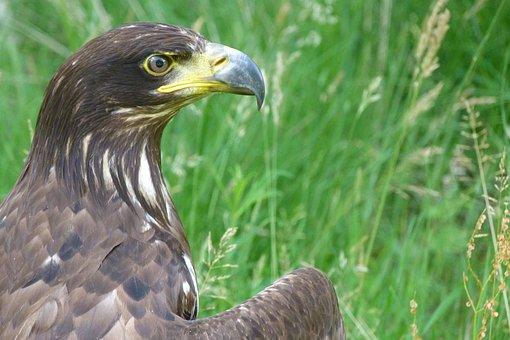 Adler, Raptor, Bird, Bird Of Prey, Golden Eagle, Animal