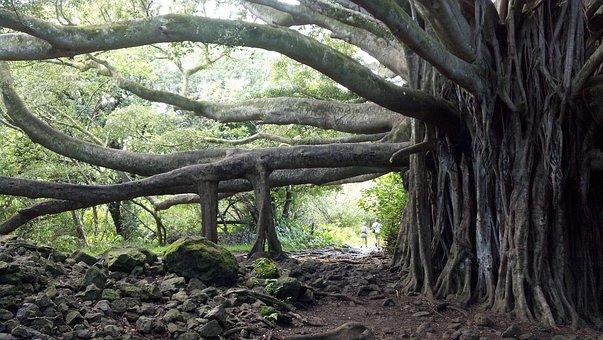 Banyan Tree, Tree, Maui, Hawaii, Banyon, Beach