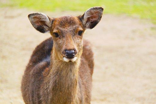 Deer, Animal, Nara Deer Park, Nara Park, Nara, Japan