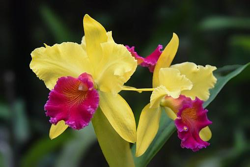 Cattleya, Orchid, Plant, Nature, Macro, Flower, Exotic
