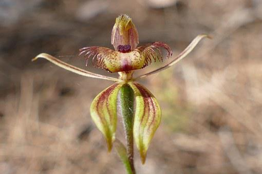 Spider Orchid, Orchid, Plant, Nature, Orchidaceae