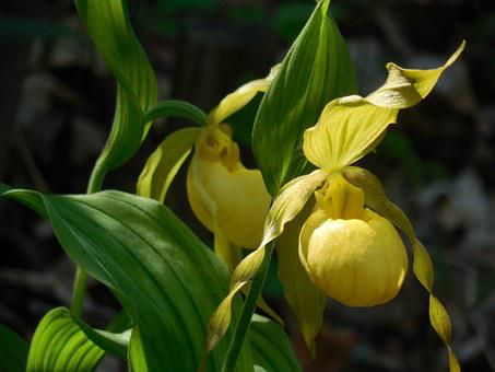 Lady's Slipper, Orchid, Flower, Nature, Plant, Green