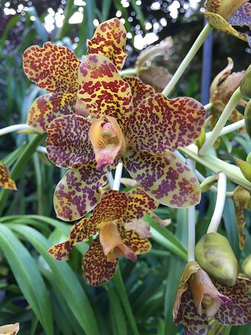 Tiger Orchid, Plants, Nature