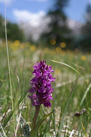 Flower, Alpine Meadows, Orchid
