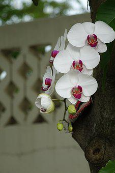 Orchid, Flower, White Flower, White Petals, Pink Center