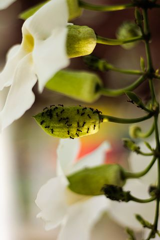 Flower, Orchid, Ants, Plant, White, Floral