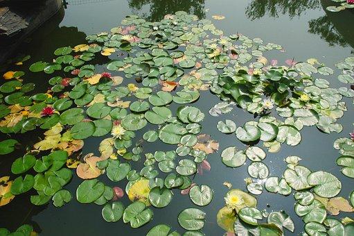 Lily Pad, Pond, Nature, Waterlily, Aquatic, Aqua