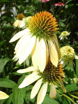 Coneflower, Yellow, Bloom, Flower, Plant, White