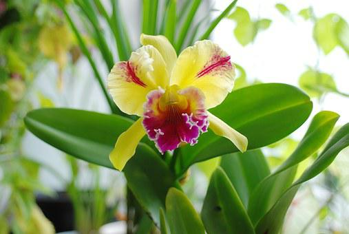 Orchid, Plant, Flower, Cattleya, Yellow Flowers