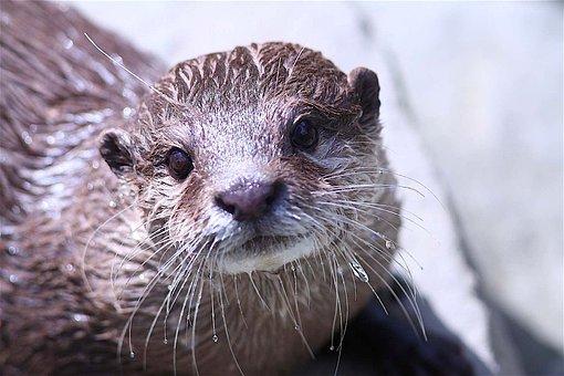 Otter, Zoo, Animal, Detail