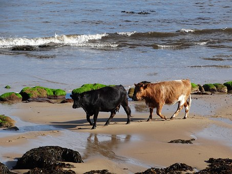 Cows, Beach, Sea, Brora, Highlands Of Scotland