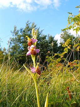 Bee Orchid Friburgensis, German Orchid, Rarely